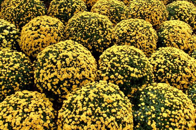 boules de fleurs jaunes