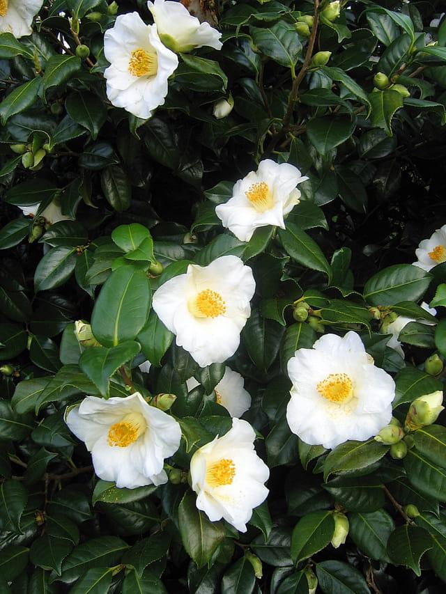 Bouquet blanc du jardin