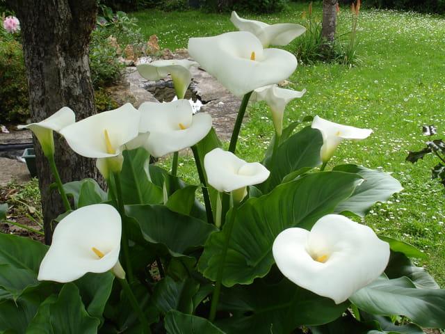 Bouquet d'arums