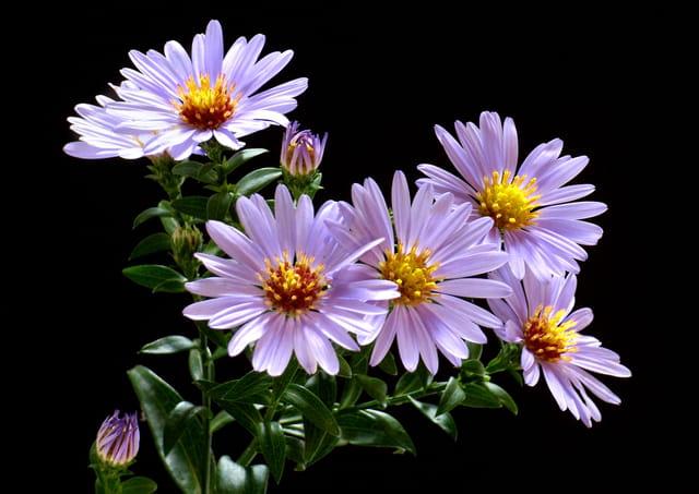 Bouquet d\'Asters