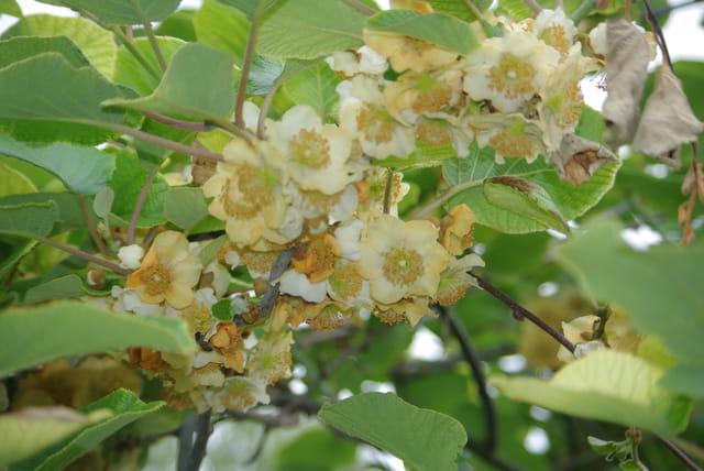 Bouquet de fleurs du kiwi