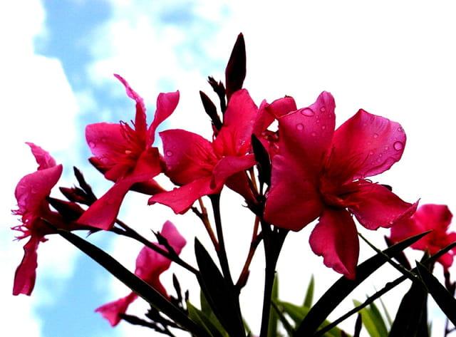 Bouquet de lauriers