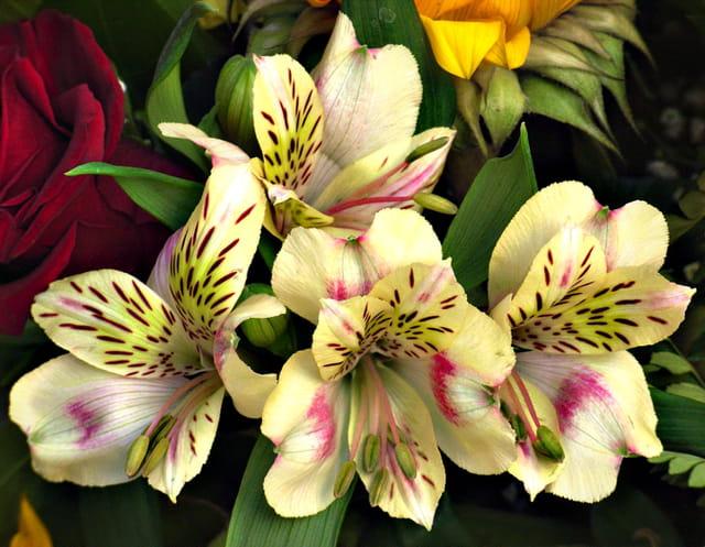 Bouquet d'astromerias