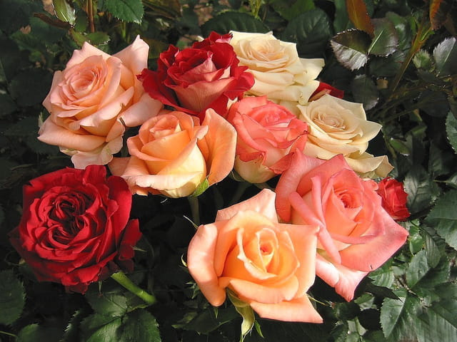 bouquet de roses par jean pierre marro sur l 39 internaute. Black Bedroom Furniture Sets. Home Design Ideas