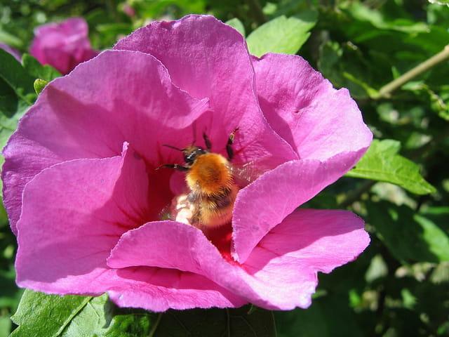 Bourdon et hibiscus