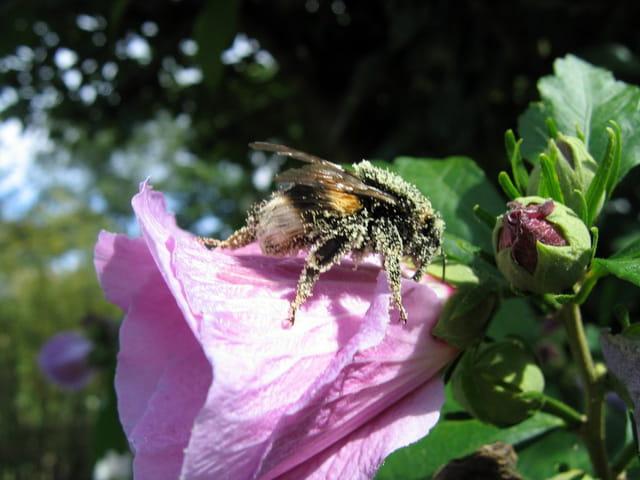 Bourdon sur fleur d'hibiscus