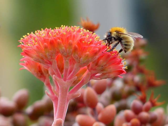 Bourdon sur fleur de crassule