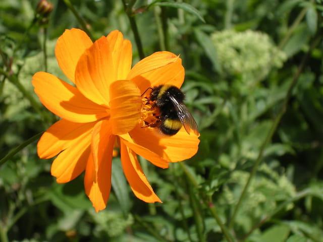 Bourdon tranquille sur sa fleur