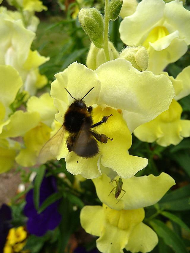 Bourdon visitant une fleur de muflier