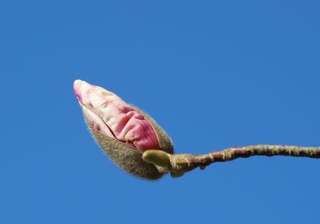 Bourgeon de magnolia