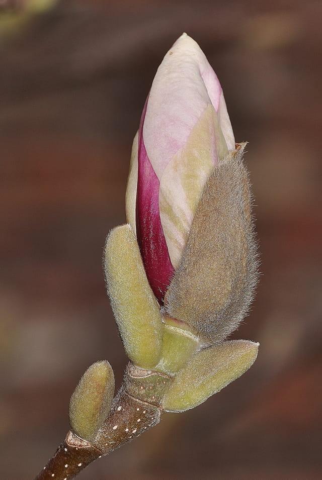 Bourgeons de magnolia