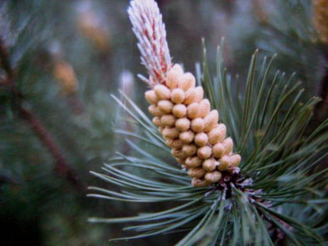 Bourgeons de pins