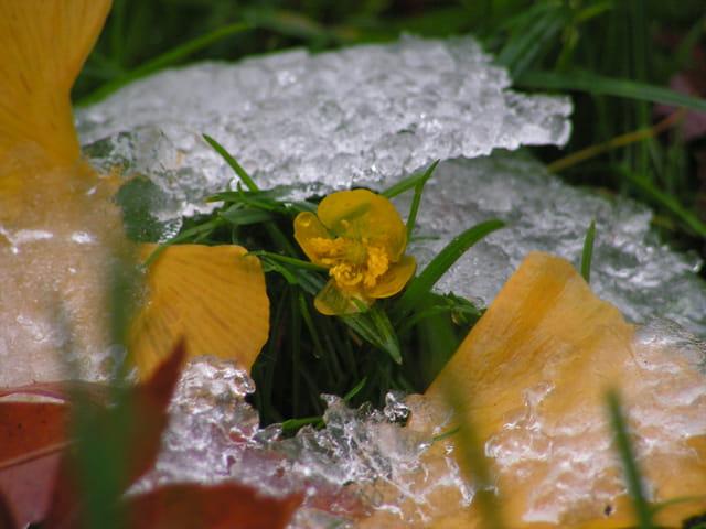 Bouton d'or gelée