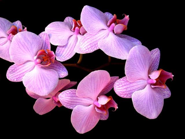 Branche d'orchidées