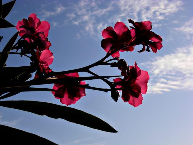 branche de laurier rose
