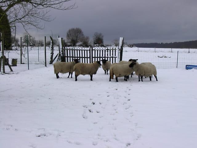 Brebis sous la neige