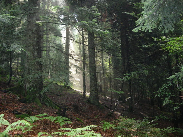 Brumes forestières