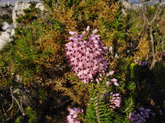 Bruyère à fleurs multiples