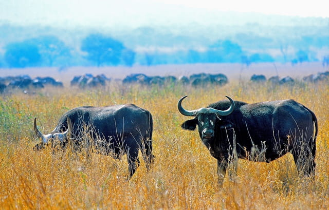 Buffles dans la brousse africaine.