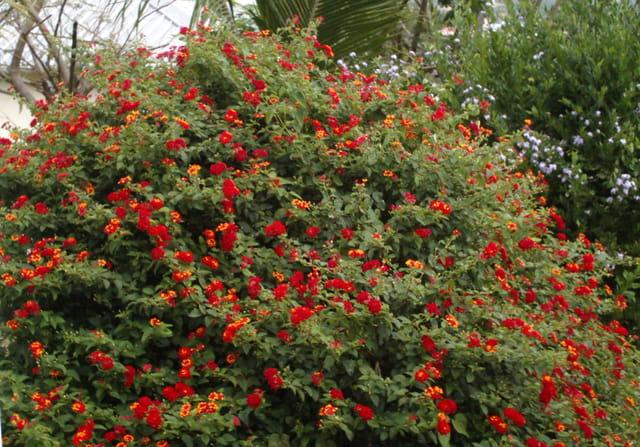 Buisson de lantanas