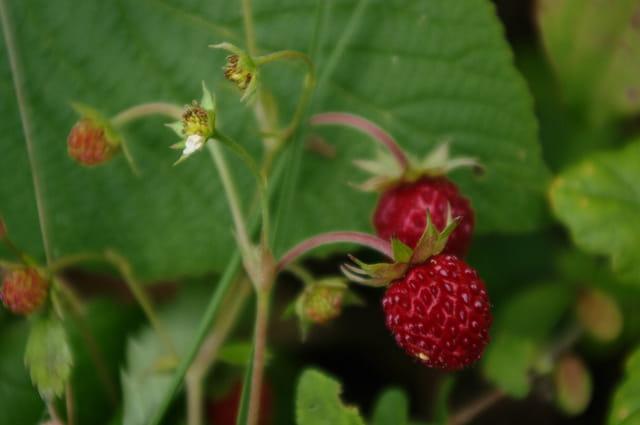 C'est la saison des fraises des bois!