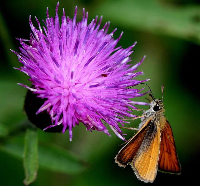 C'est un petit papillon d'une envergure de 14 mm à 17 mm