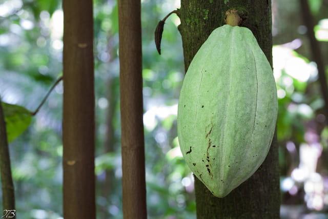 Cabosse de cacao encore verte