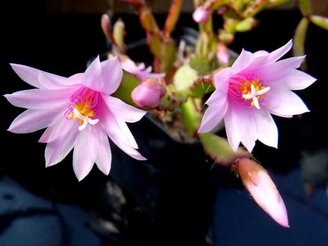 Cactus de Pâques