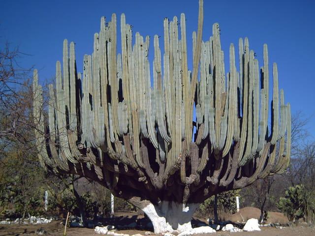Cactus géant