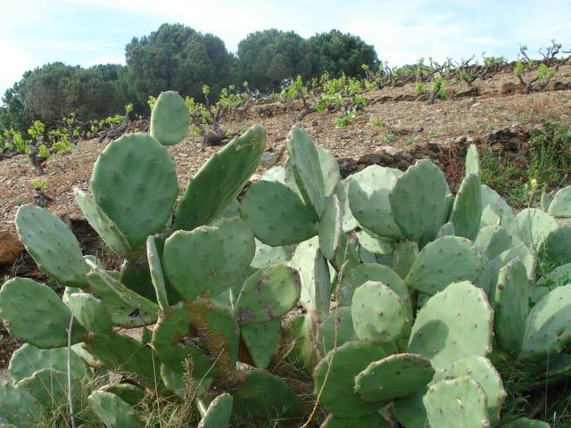 Cactus, vigne et chêne-liège