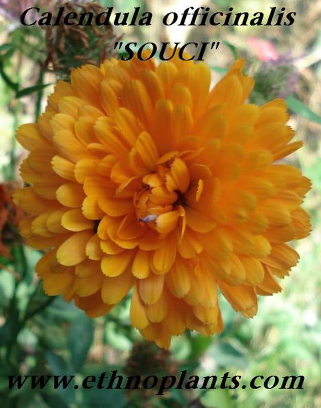 Calendula souci plante medicinale