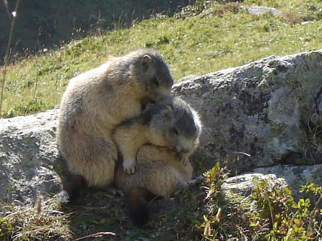 Calin de Marmottes