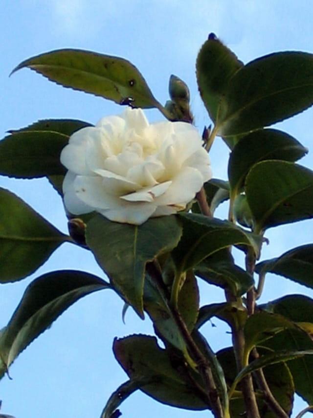 Camélia blanc sur fond de ciel bleu