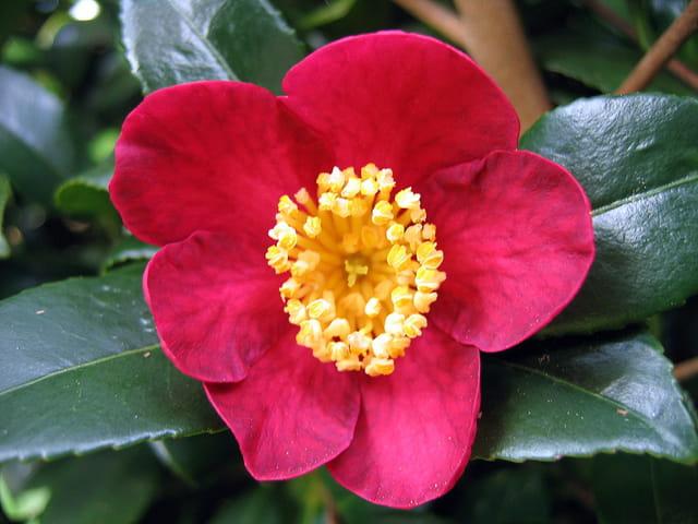 Camélia....en rouge et or