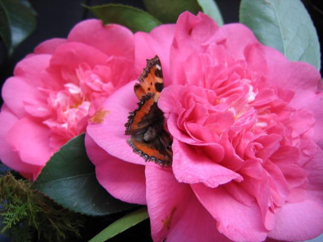 Camélia et papillon