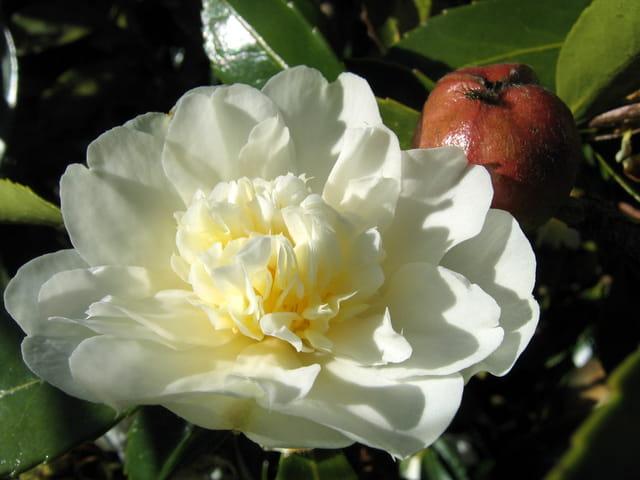 """Camélia\""""fleur et fruit\"""""""