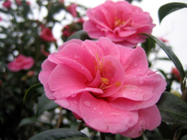 Camélia Inspiration après la pluie