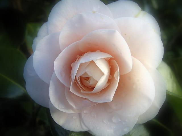 Camélia perlé
