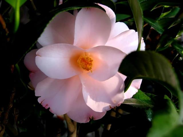 Camélia rosé