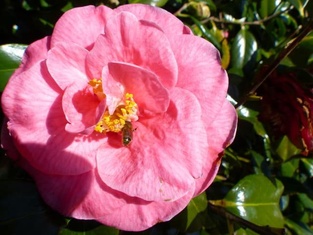 Camélia rose et son abeille