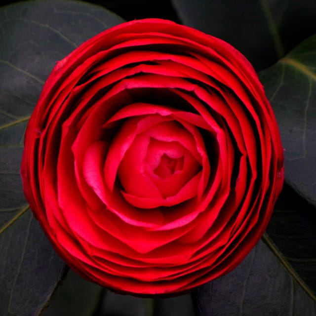 Camélia rouge 3