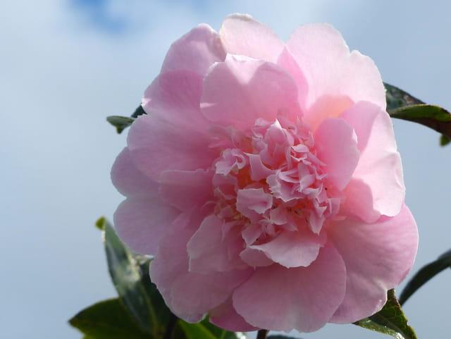 """Camellia""""Elsie Jury"""""""