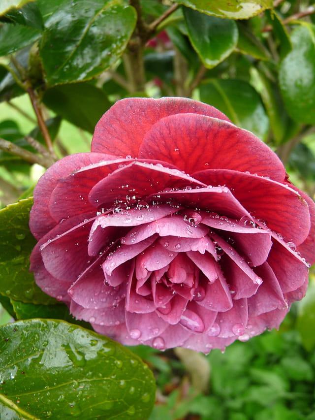 Camellia et ses gouttelettes