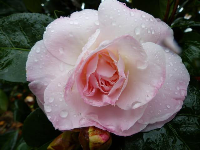 "Camellia""Julia Hamiter"""