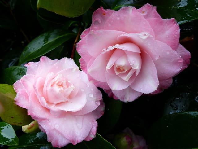 "Camellia""Pearl Maxwell"""