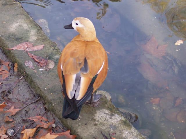 Canard en automne.