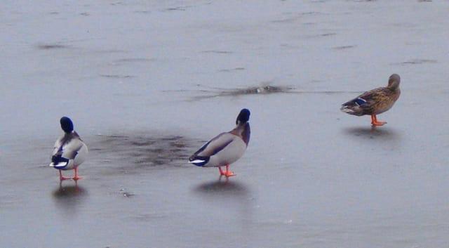 Canards sur l'étang du château de la chasse