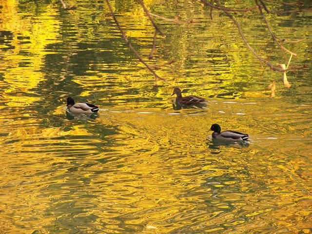 Canards dorés