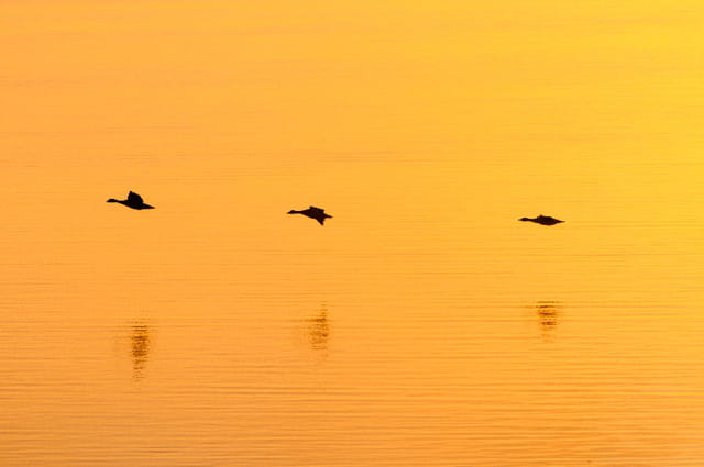 Canards en ombres chinoises