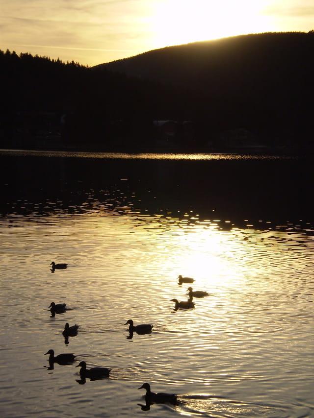 Canards sur le lac de Gerardmer